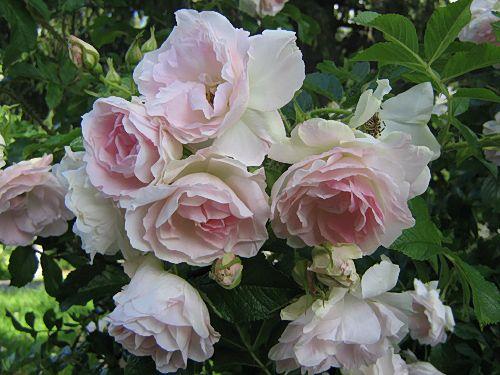 Ritausma  Rieksta, Latvia 1963: Rosa rugosa 'Plena' x 'Abelzieds'.   Pensas on 150 cm korkea, kukka kerrannainen vaaleanpunainen.