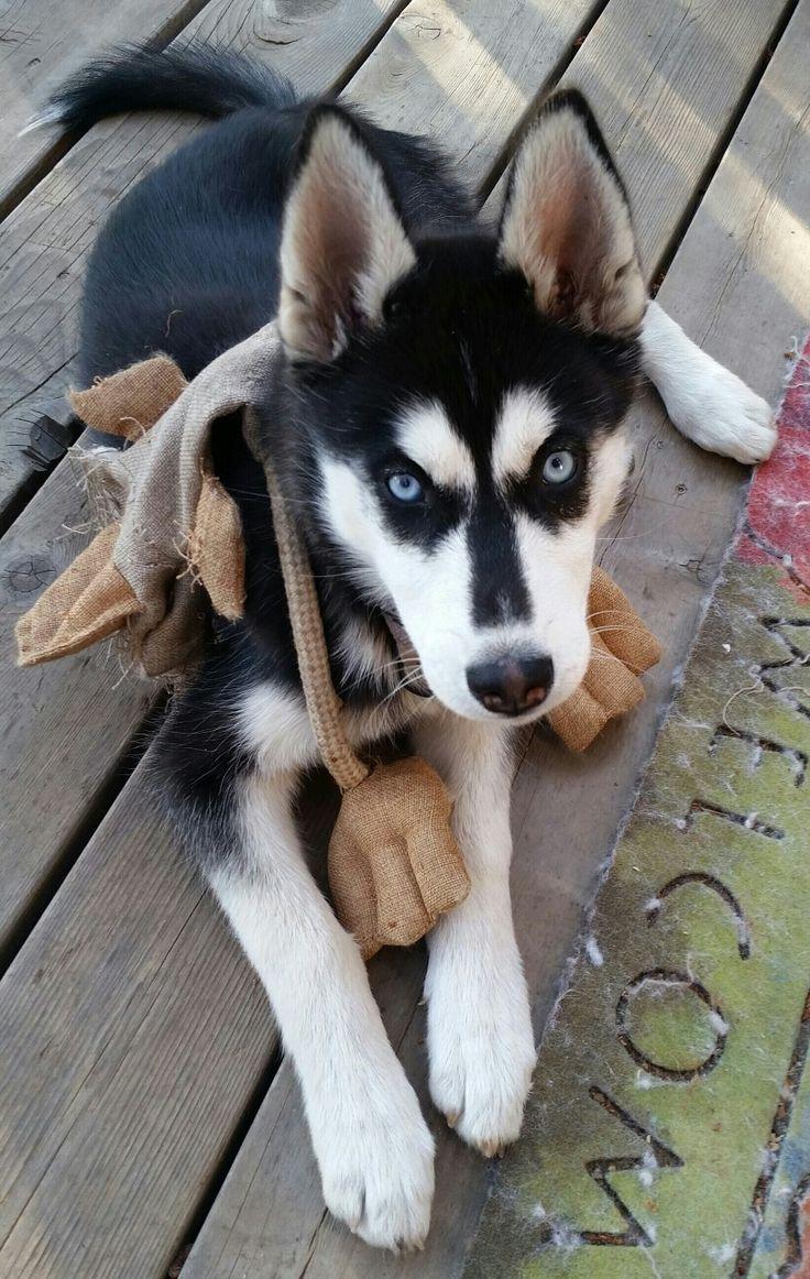 Via Kaufmannspuppy Siberian Husky Dog Husky Puppy Alaskan Husky