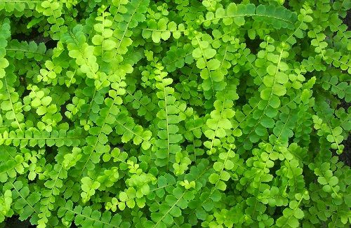 "Hirt's Lemon Button Fern 4"" Pot - Nephrolepis cordifolia Duffii - Hirt's Gardens"