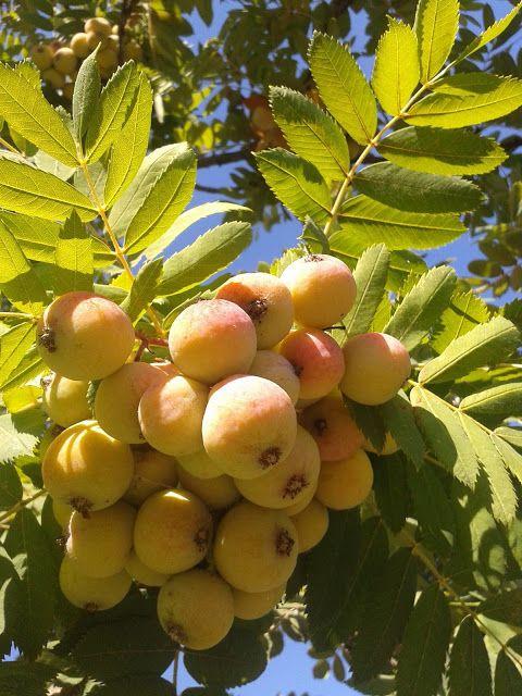 Il Blog di Sam: Frutti antichi ormai dimenticati