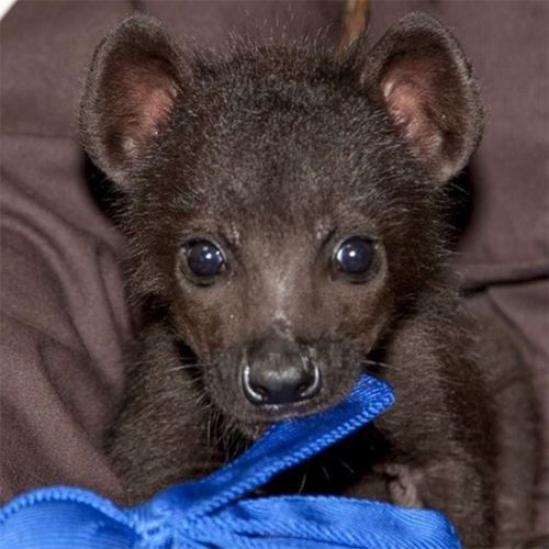These Baby Zoo Animals Will Make Your Heart Explode With Joy. Baby Hyena.