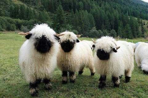 Last week's #MysteryCreature was the #Valais #Blacknose #Sheep (#Ovis #aries).  The Valais blacknose sheep is a special breed of domestic sheep common to the Valais region of #Switzerland (from where it gets its name). While the history of the blacknose sheep goes back perhaps to the 15th century, the breed was not officially recognized until 1962. As their name suggests, blacknose sheep are white with a characteristically black nose (or face). Ovis aries are quite friendly, easily tamed…
