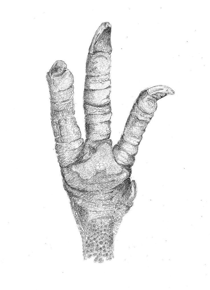 North Island Brown Kiwi foot, Aperyx mantelli