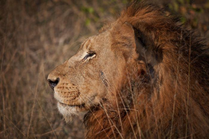 The 25+ best Tiger profile ideas on Pinterest | Habitat of ...