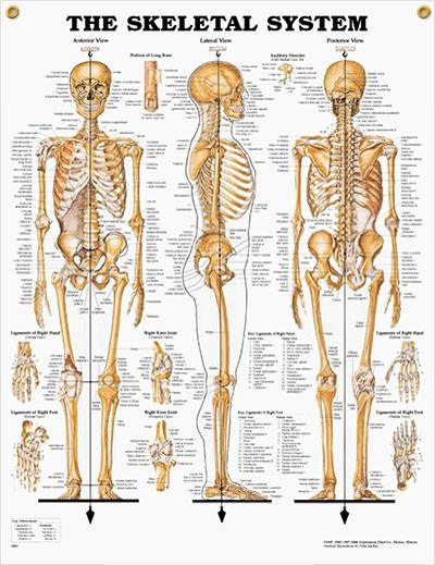 48 best images about human anatomy on pinterest | body proportions, Skeleton