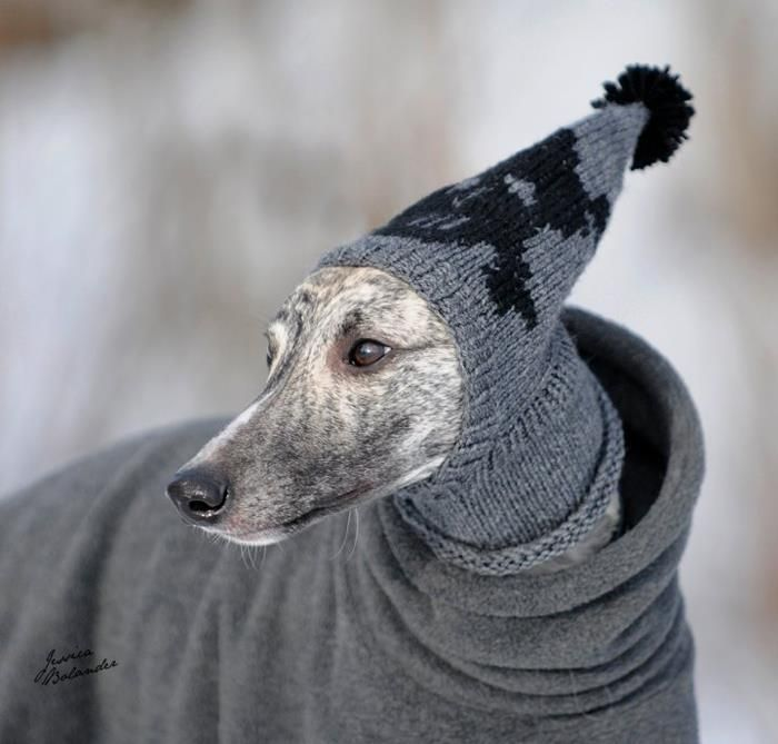 Greyhounds get cold easily so they need clothes like this.