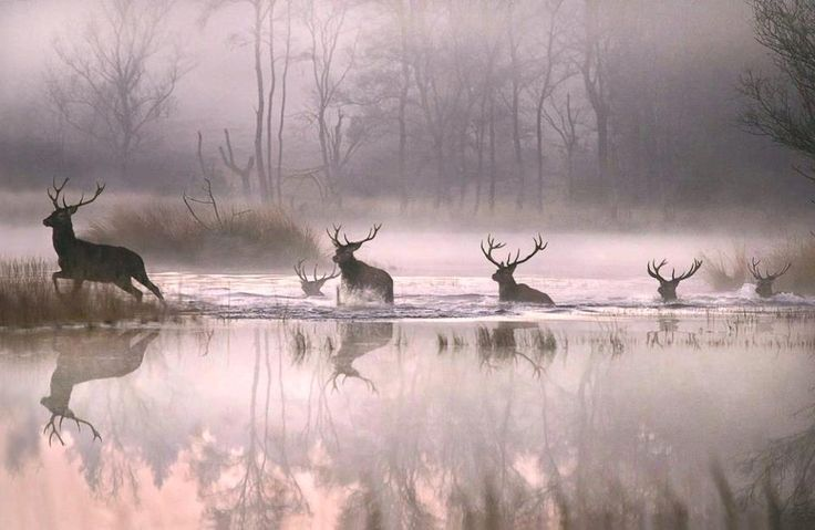 A fantastic image of Red Stags crossing a river on a misty morning