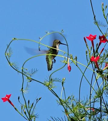HummingbirdHummingbirds S2, Hummingbirds Heavens, Beautiful Animal, Heart Throbs, Heart Shape, Hummingbirds Happy, Ahhhh Hummingbirds, Hummingbirds Joy, Birds Hummingbirds