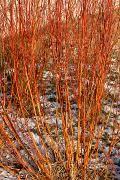 Salix 'Flame' - Wierzba 'Flame'