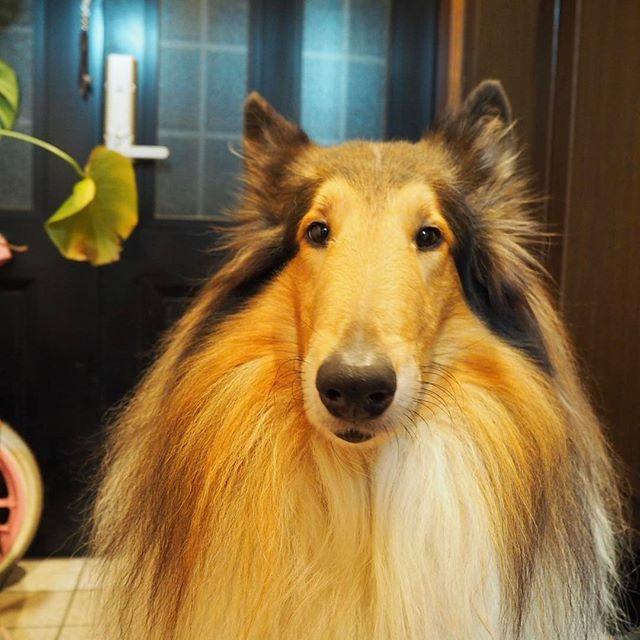 素朴な表情かわいすぎ! #king#roughcollie#dog#dogstagram#cute#beautifuldog#bigdog#collie#lovemydog#ラフコリー#キング#愛犬#大型犬#かわいすぎ#コリー#olympus#olympuspen#olympuspenepl7