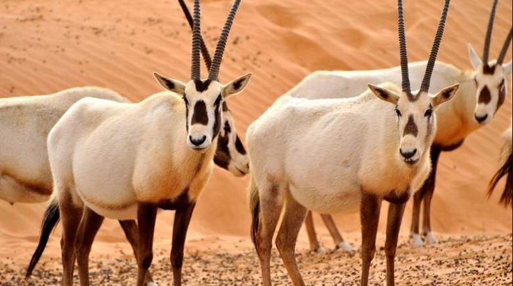 Arabian Oryx : National animal of Bahrain Asian antelope species of the bovine family. It is the smallest of the four species of Oryx and the most endangered species is found. It is also called, along with the addax, white antelope , due to the color of its coat. Arabic Oryx is National animal of Bahrain.