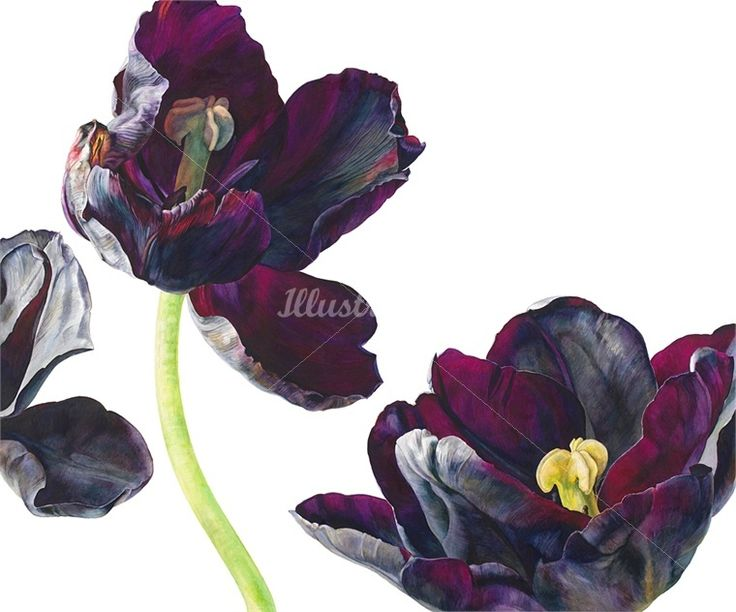 Black tulips illustration by Rosie Sanders #RosieSanders #botanicalillustration #illustration #flowers