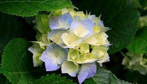 Come cambiare il colore dei fiori delle ortensie