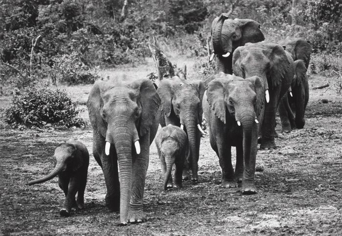 """World Elephant Day.  Arthur Rothstein, """"With a 500mm telephoto lens, I caught this herd of elephants in a remote area of Kenya. Poaching and environmental hazards are making this a rare sight."""" 1970 [45 years later, that's even more tragic and true.]"""