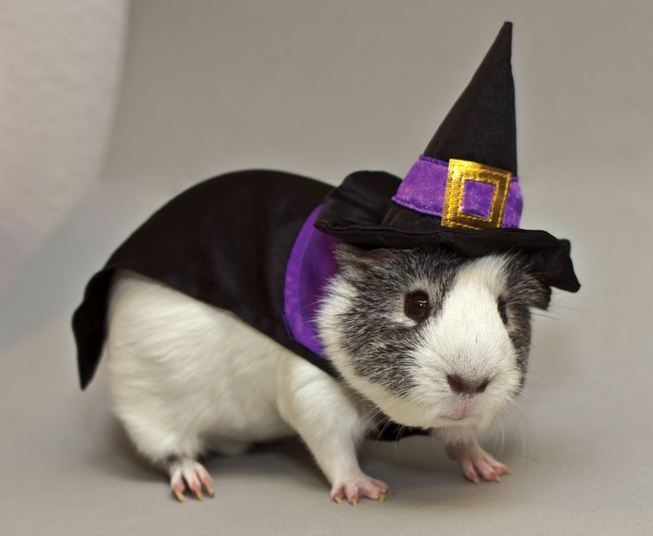 This year even the guinea pigs are getting in on the Halloween fun with pumpkin and witch costumes from PetSmart. (Photo: Business Wire)
