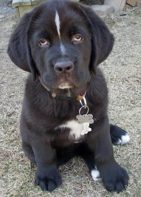"""Blitzen is an adorable, fluffy mix between a Newfoundland and a Saint Bernard (sometimes called a """"Saint Bernewfie""""). His dad was 180 pounds and at 9 weeks old Blitzen already weighs in at 25 pounds! He will definitely embrace the gentle giant title. He is a goofy, mellow guy that loves sleeping, untying shoes, and making new friends."""