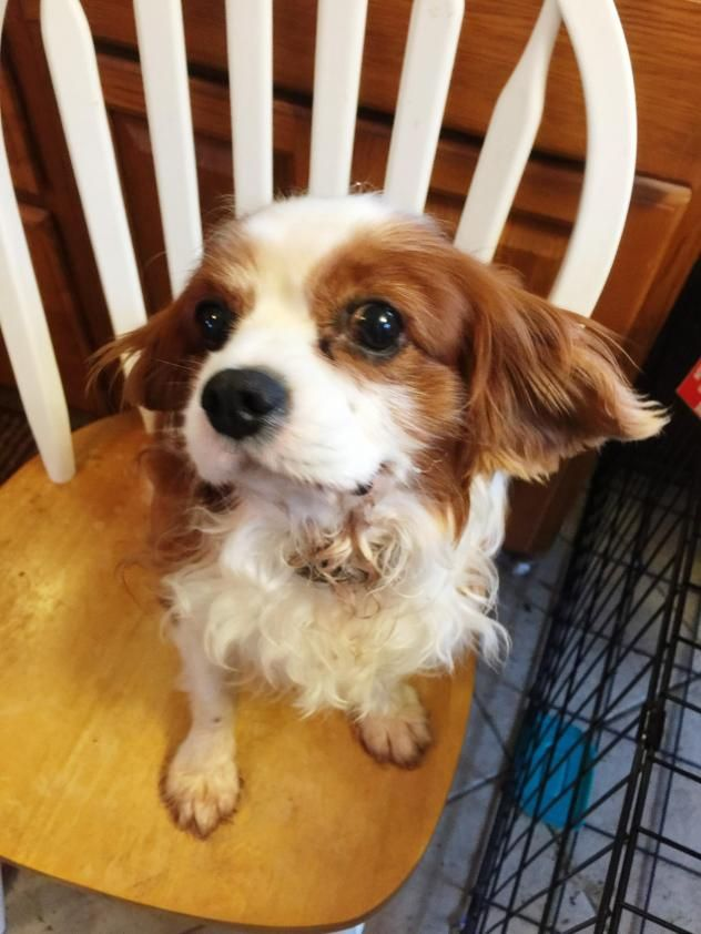 """Charlie Cavalier King Charles Spaniel in Canton, Ohio. """"This is Charlie! What a sweet boy! Was surrenedered due to unknown allergies with the person who adopted him. She saved him from a puppy mill situation. Great personality. Would be great family pet addition."""""""