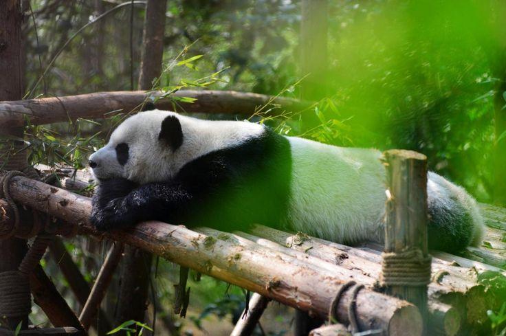 I panda giganti al centro Chengdu Research Base of Giant Panda Breeding [FOTO]