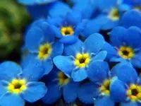 Lista de Flores que crecen en la sombra2: Nomeolvides