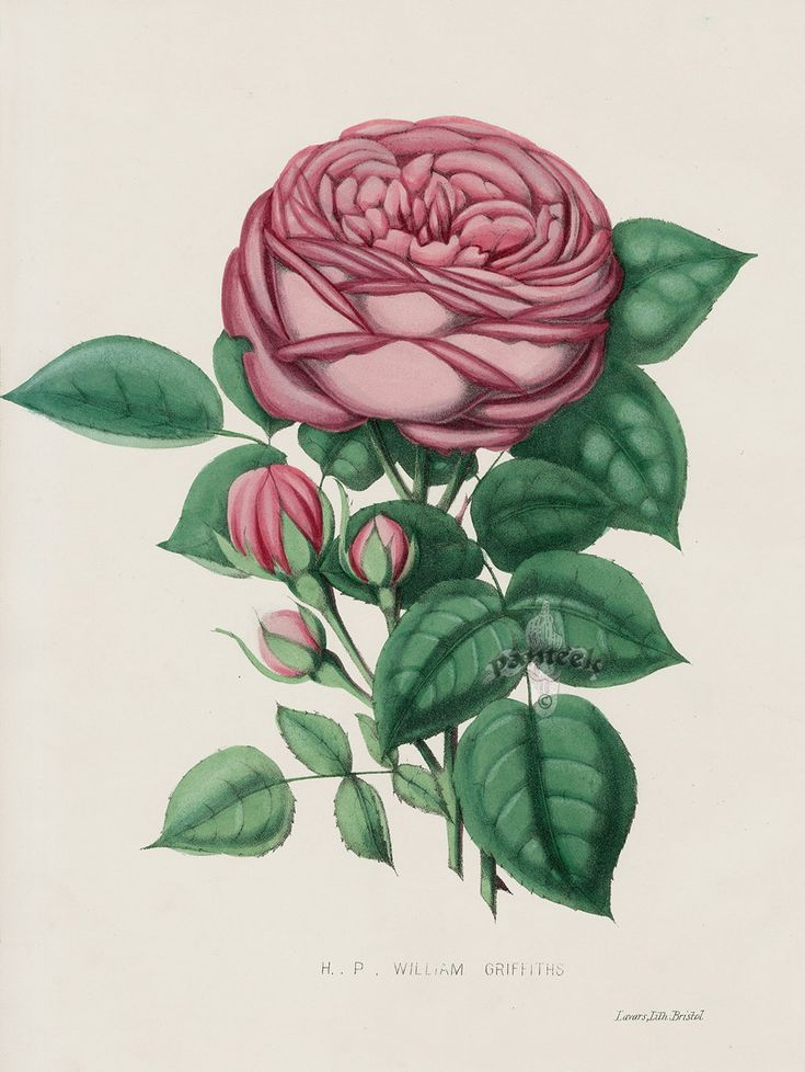 William Griffiths from Vintage Rose Prints by Henry Curtis 1850