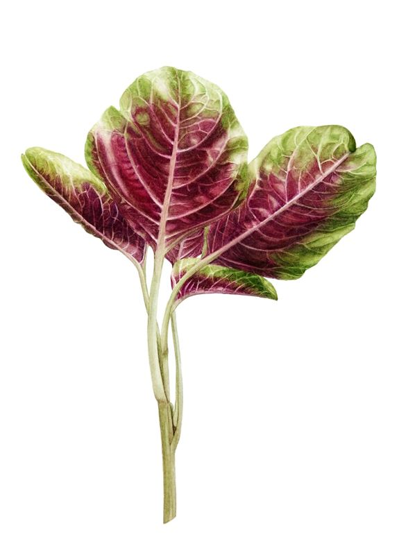 En Choy - Red Spinach by Denise Ramsay