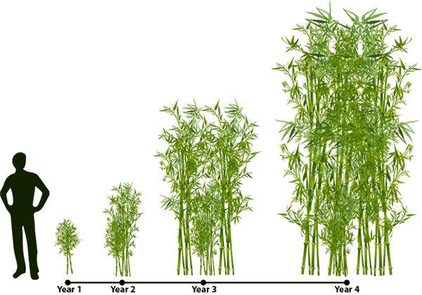 Golden Bamboo | Lewis Bamboo
