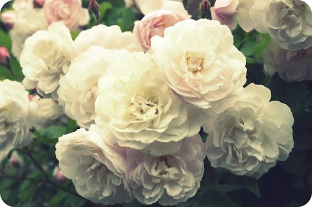 Roses, roses, roses: English Roses, Pink Roses, Roses I, Beautiful Roses, White Rose, Roses Bluerose, Roses Th, Rose Flowers Lov, Blushes Roses Lov