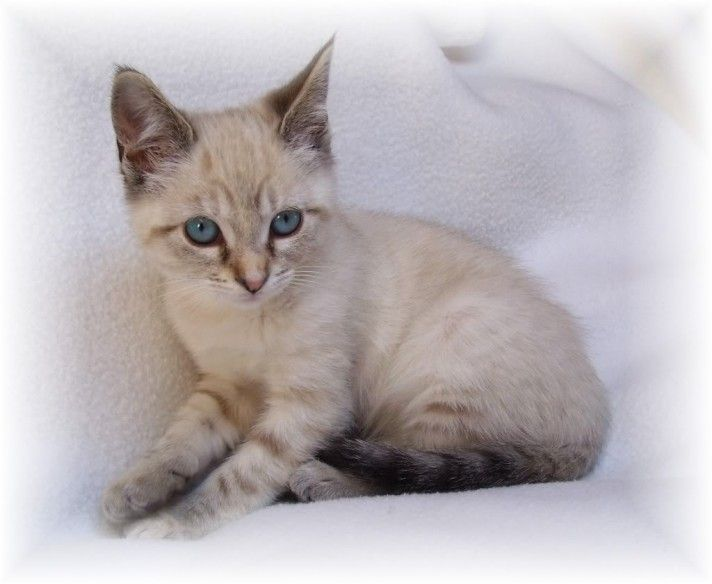 tonkinese cats for sale