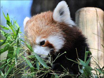Photos des Pandas Roux du Zoo de la Palmyre