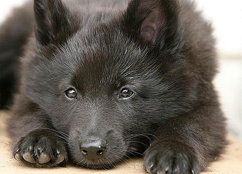 Groenendael puppy.