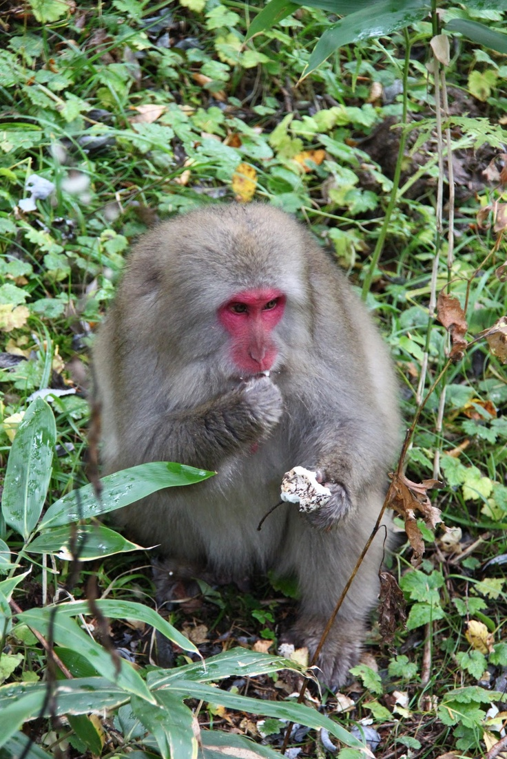 "A Japanese macaque, or ""snow monkey,"" historically known as saru (""monkey""), but now known as Nihonzaru (Nihon ""Japan"" + saru) to distinguish it from other primates, is a terrestrial Old World monkey species native to Japan...it lives in areas where snow covers the ground for months each year - no other primate, with the exception of humans, is more northern-living, nor lives in a colder climate..."