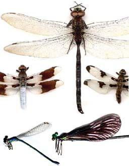 Guide d'identification d'insectes du Québec