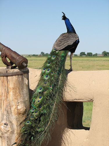 #discoverSFNHT Discover nature at Bent's Old Fort National Historic Site -- watch for the peacock