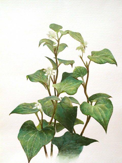 「 八重ドクダミ」 続木唯道 水彩(29cm×22cm) 2005年 個人蔵   どこの家の片隅にも生えてて、日陰を好み逞しく群生する植物、と言えばドクダミ。  お茶から薬に至るまで数多くの効用が認められている頼もしい草で、春先に咲く白花も楚々として魅力的だ。  山野草を好む知人から「八重ドクダミ」の水彩画を依頼された時、ドクダミにも八重があることを初めて知った。  花だけ見れば一重と比べて多少華やかで別種のようだが、葉や茎の区別は全くつかない。  描きながら、改めてドクダミの魅力を再認識した次第である。