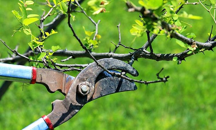 El invierno es el mejor momento para podar a los árboles frutales y aquí te mostramos cómo hacerlo en tres pasos simples Luego de pocos años de plantados nuestros árboles, la mayoría nos encontramo…