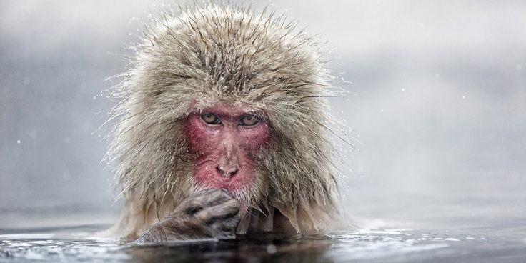 Bain au calme pour les macaques japonaisDans un point d'eau indonésien, ces deux macaques japonais sont comme deux coqs en pâte.