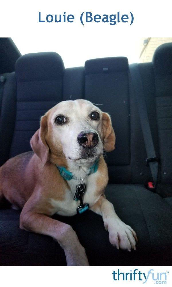 Louie Beagle Beagle Animal Shelter Animals