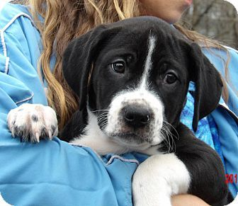 Williamsport, MD - Great Dane/Border Collie Mix. Meet Tank (11 lb) Video!, a puppy for adoption. http://www.adoptapet.com/pet/17447150-williamsport-maryland-great-dane-mix
