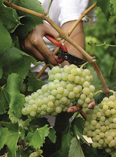 éducation sur les sortes de raisins, sur les manières d'en récolter