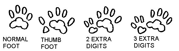 Polydactyly, or extra digits, is a common trait among cats.
