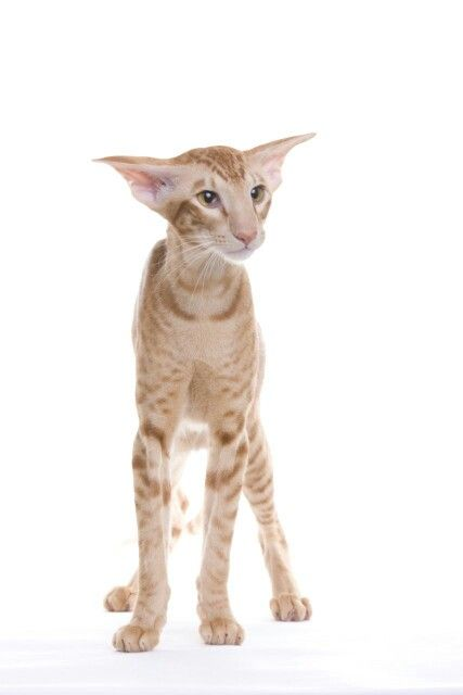 Those ears!! Oriental shorthair.
