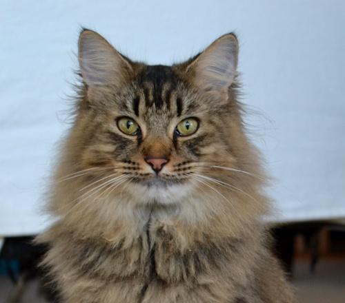 Friends of Feline, Bhakti (I think he is a Norwegian Mountain cat)
