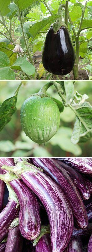Berenjena, cómo cultivarla en el huerto ecológico