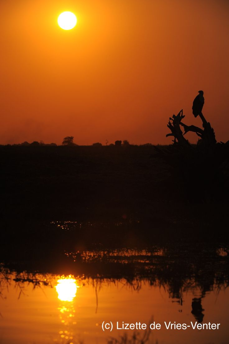 African fish eagle perching on tree stump in river at sunset