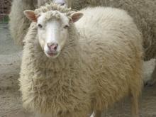 πρόβατο ονειροκρίτης