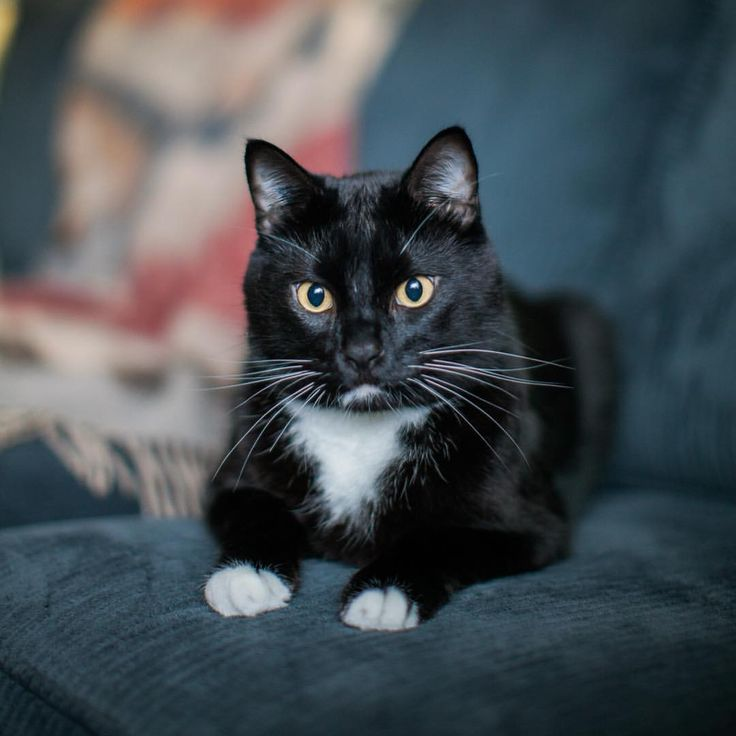 Cute tuxedo cat just chilling out