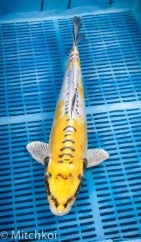 """Doitsu Lemon Kikokuryu 48cm (19"""")"""
