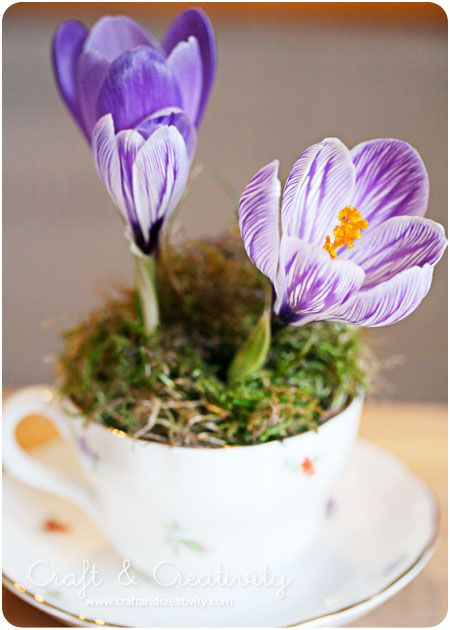 Great Easter gift!  Teacup and saucer, plastic bag to line cup- trim to size, plant crocus in soil, cover with moss, water