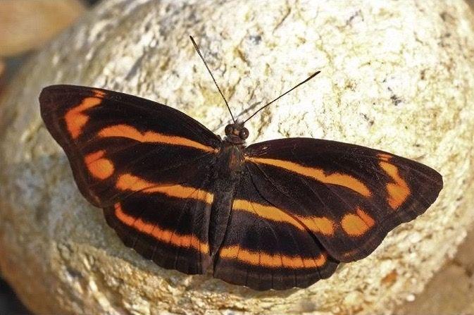 Indian Namba Sailer Neptis Namba Namba Arunachal Pradesh India Butterfly Butterfly Mobile Card Making Machine