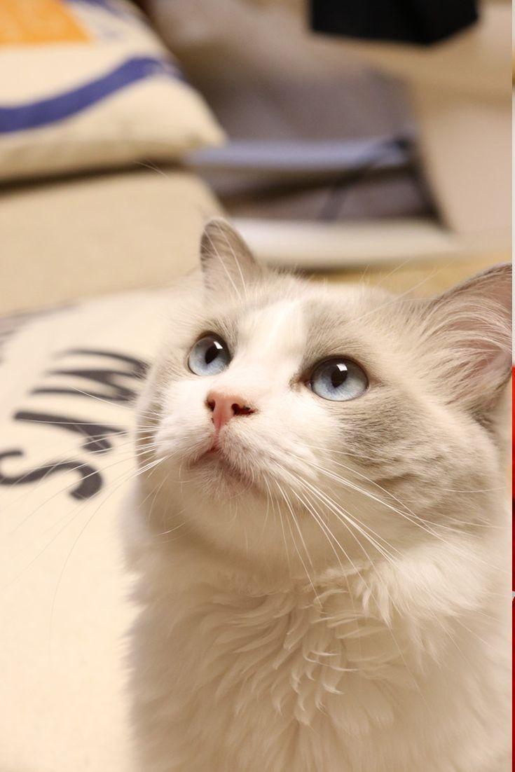Top 25 Awesome Ragdoll Katzennamen Ideen Cats Katzen Namen